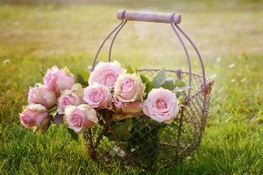nuvyto rožės dėl ko  nuvyto rožės